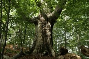 arbore generic